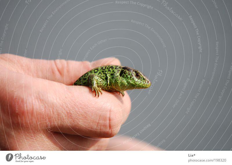 handzahm Hand Finger Tier Tiergesicht Echte Eidechsen Echsen 1 fangen festhalten groß klein Farbfoto Nahaufnahme Textfreiraum rechts Textfreiraum oben