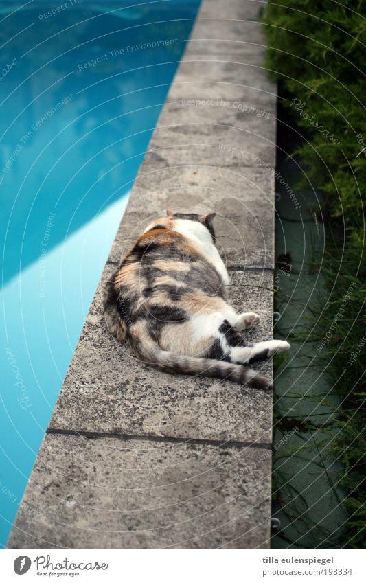 Wer zu viel trinkt, kriegt nen Kater... Katze blau Sommer Erholung Einsamkeit Tier Traurigkeit Garten liegen warten genießen schlafen Schwimmbad Übergewicht