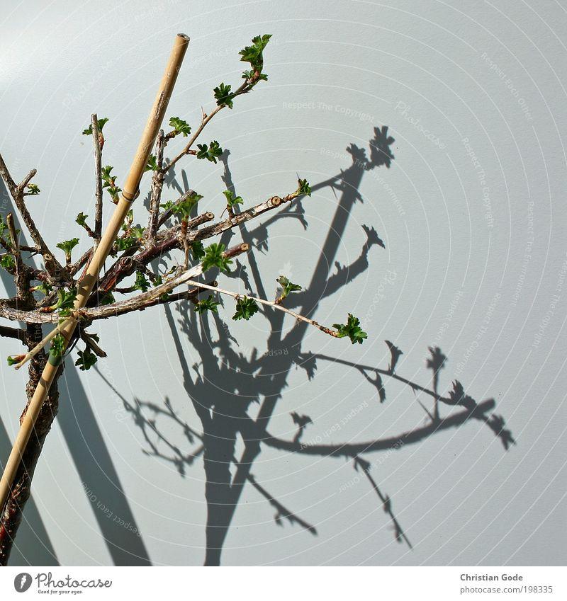 Gewächs Umwelt Natur Pflanze Tier Baum Sträucher Holz grau grün Ast Wand Schatten Strebe Stock Balkon Balkonpflanze Blütenknospen Bambusrohr Sonne Licht
