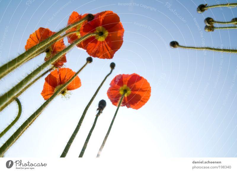 der Mohn der in den Himmel wächst Natur Pflanze Wolkenloser Himmel Frühling Sommer Schönes Wetter Blüte Garten blau rot Perspektive Wachstum Islandmohn