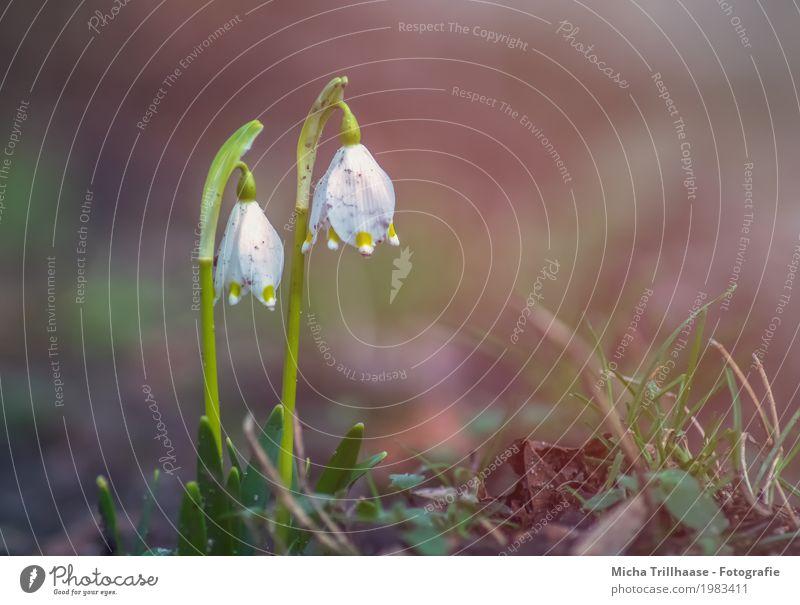 Märzenbecher im Sonnenschein Umwelt Natur Pflanze Sonnenlicht Frühling Wetter Schönes Wetter Blume Gras Blatt Blüte Wildpflanze Wiese Blühend Duft leuchten