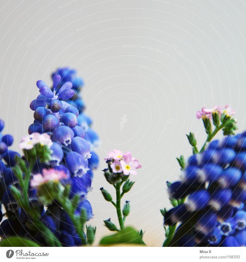 träubelhyazinthen Natur Pflanze Blume Blüte Garten Park Wiese klein Hyazinthe Farbfoto mehrfarbig Nahaufnahme Detailaufnahme Makroaufnahme Menschenleer