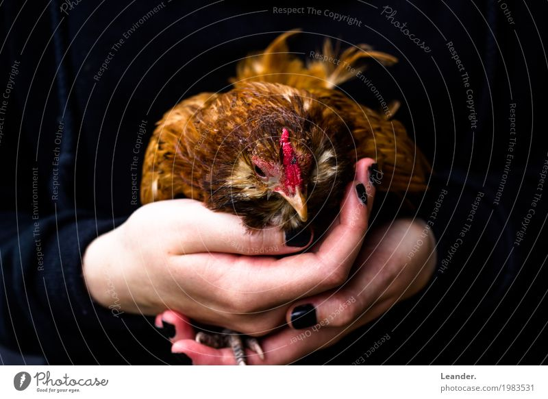 Huhn in der Hand Natur Tier Umwelt Abenteuer Landwirtschaft festhalten Bauernhof Fleisch Biologische Landwirtschaft Forstwirtschaft Haushuhn Mitgefühl