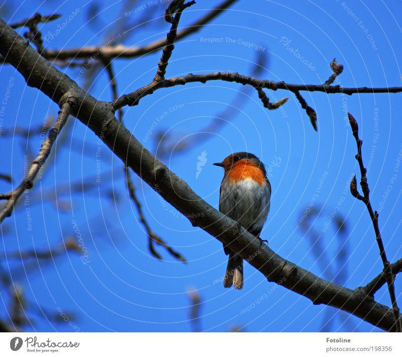 Rotkehlchen Umwelt Natur Landschaft Pflanze Tier Luft Himmel Wolkenloser Himmel Frühling Sommer Klima Wetter Schönes Wetter Wärme Baum Garten Park Wildtier