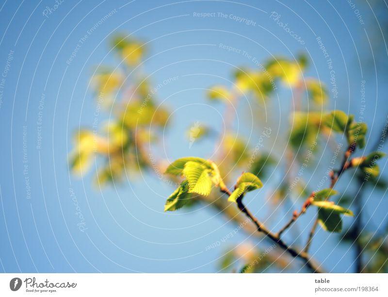 beginning Pflanze Baum Blatt Wildpflanze Ast Zweig Blattadern Ulme Blattknospe Bewegung Erholung Blick Wachstum ästhetisch natürlich neu blau braun grün Gefühle