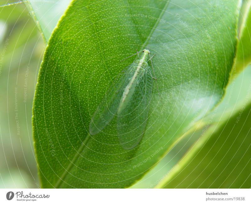 durchsichtiger flieger Schmetterling Fühler Blatt grün Flügel