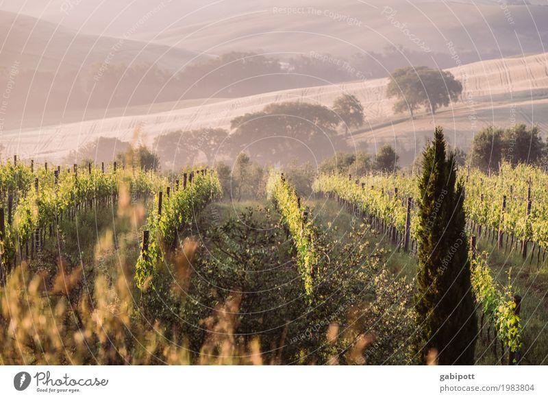 Toskanischer Wein Umwelt Natur Landschaft Luft Sonne Sommer Klima Schönes Wetter Nebel Pflanze Feld Hügel natürlich Fröhlichkeit Lebensfreude Zufriedenheit