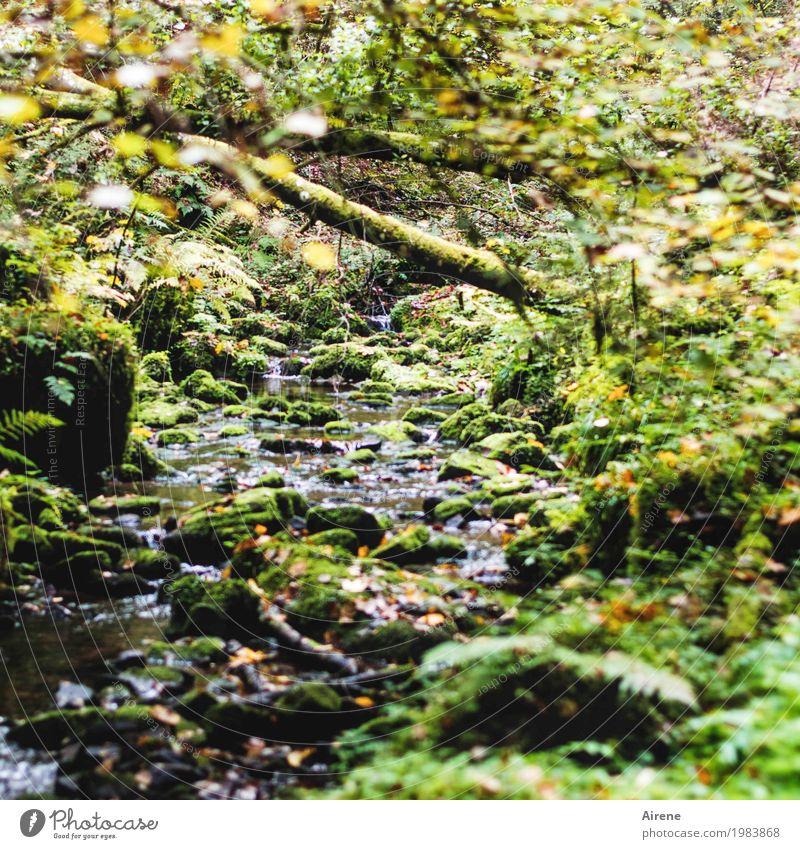 Vorwärtskommen beschwerlich Natur Wasser Wildpflanze Moosteppich Baumstamm Urwald Felsen Bach hängen Wachstum Flüssigkeit nass natürlich wild grün Einsamkeit