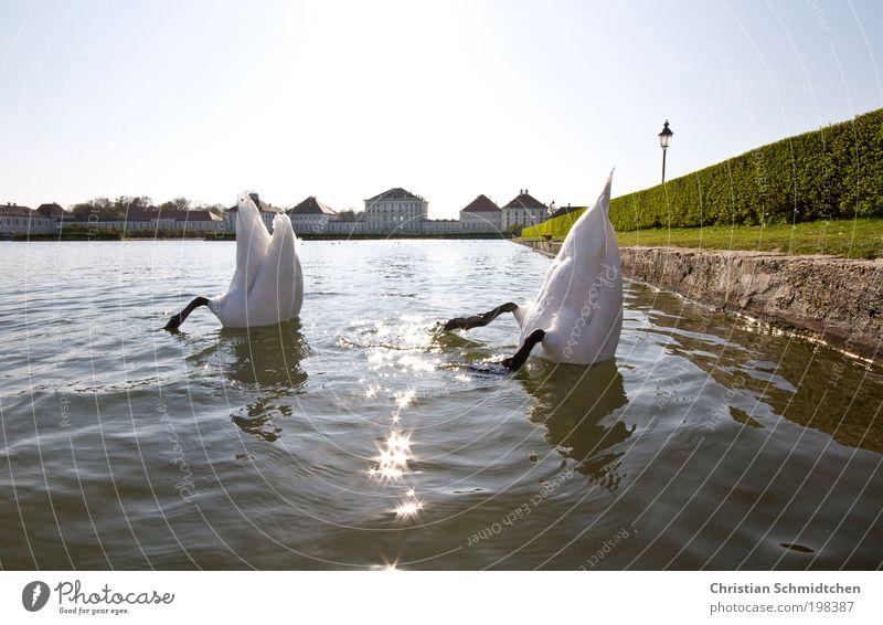 Tauchstation tauchen Wasser Sonne Frühling See Burg oder Schloss Tier Wildtier Schwan 2 unten blau grün weiß Schloß München Bayern Suche Kopf Schwanenarsch