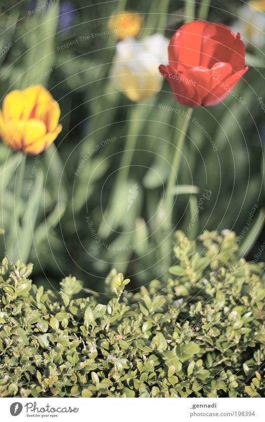 Tulpe oder Hecke, dass ist hier die Frage. Natur grün Pflanze Blume Umwelt Sträucher Kitsch Tulpe Grünpflanze Nutzpflanze vernünftig