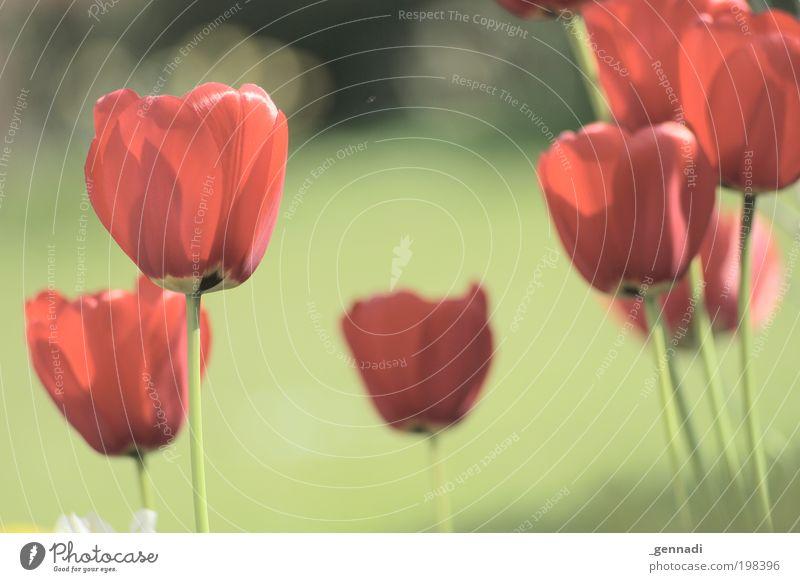 Rote Armee Natur schön rot Pflanze Blume frei frisch Fröhlichkeit Kitsch Freundlichkeit Tulpe frech Grünpflanze