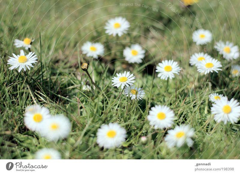 Pünktchen Natur weiß Blume grün Pflanze Blüte Gras Zusammensein Umwelt Erfolg neu Kitsch natürlich unten lecker Duft