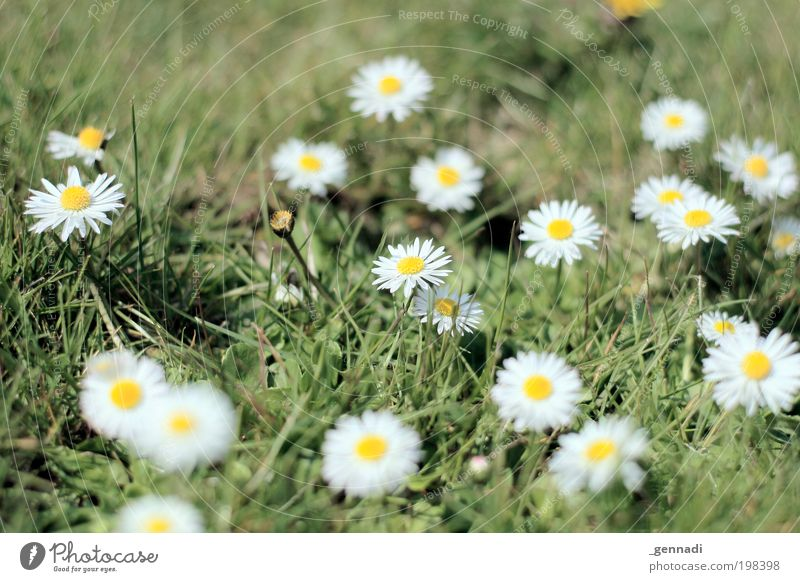 Pünktchen Umwelt Natur Pflanze Blume Gras Blüte Grünpflanze Gänseblümchen Blumenwiese grün grünen grün-gelb weiß weiß-gelb Duft Erfolg Zusammensein Kitsch