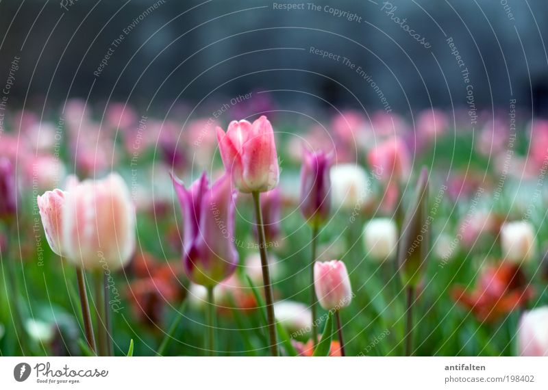 Tulpen aus Düsseldorf Natur Pflanze Sonne Frühling Sommer Wetter Schönes Wetter Blume Garten Park Blumenbeet Museum Stadtrand Mauer Wand Fassade Fröhlichkeit