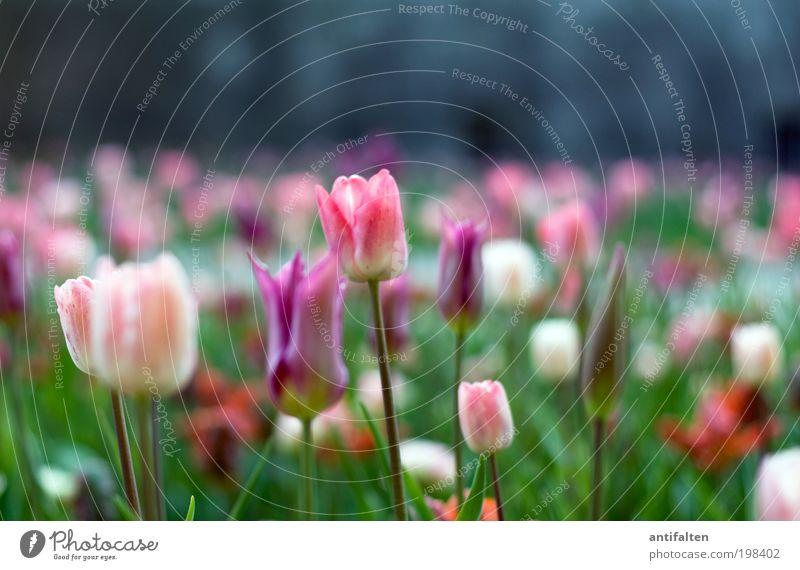 Tulpen aus Düsseldorf Natur weiß Sonne Blume grün Pflanze Sommer Freude Wand Frühling Garten Glück Mauer Park rosa Wetter