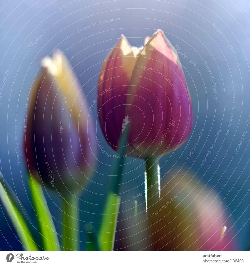 Sonnenbad Natur Pflanze Himmel Schönes Wetter Blume Tulpe Blüte Glas Blühend ästhetisch schön blau mehrfarbig gelb grün violett rosa Fröhlichkeit Lebensfreude