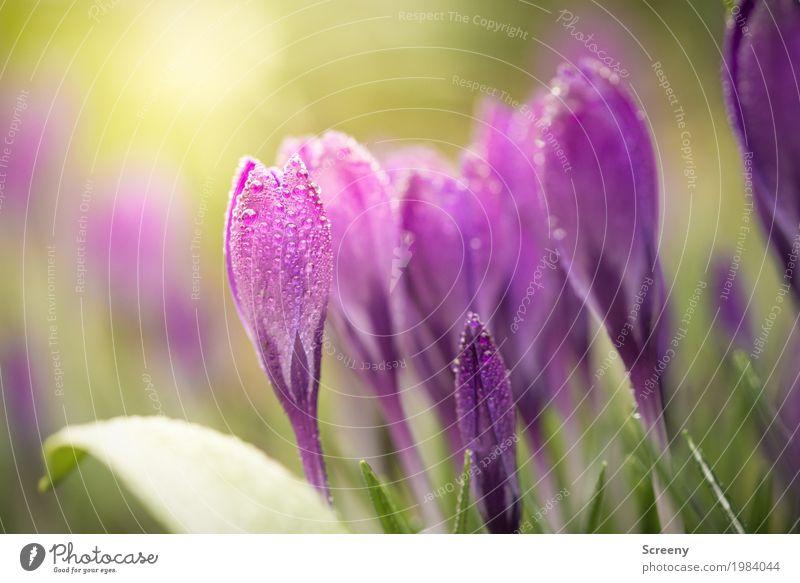 Aufblühen #5 Natur Pflanze Wasser Wassertropfen Frühling Blume Blatt Blüte Krokusse Garten Wiese Blühend Wachstum klein nass grün violett Frühlingsgefühle