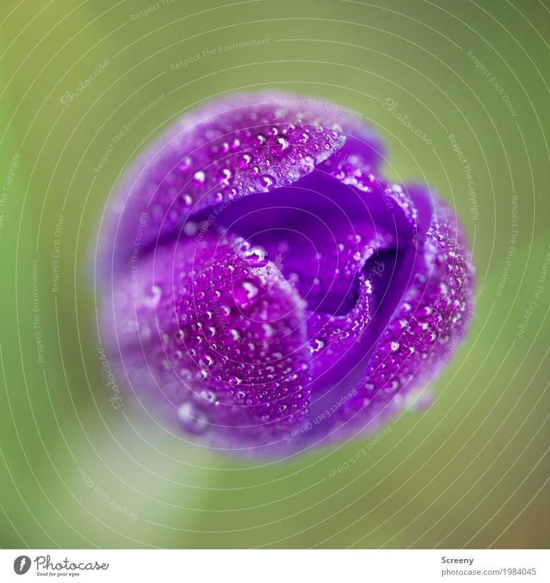 Aufblühen #2 Natur Pflanze Wasser Wassertropfen Frühling Blume Blüte Krokusse Garten Wiese Blühend Wachstum klein nass grün violett Frühlingsgefühle zart