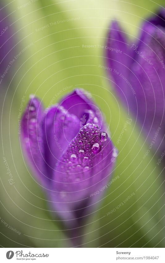Aufblühen #4 Natur Pflanze Wasser Wassertropfen Frühling Blume Blatt Blüte Krokusse Garten Wiese Blühend Wachstum klein nass grün violett Frühlingsgefühle zart