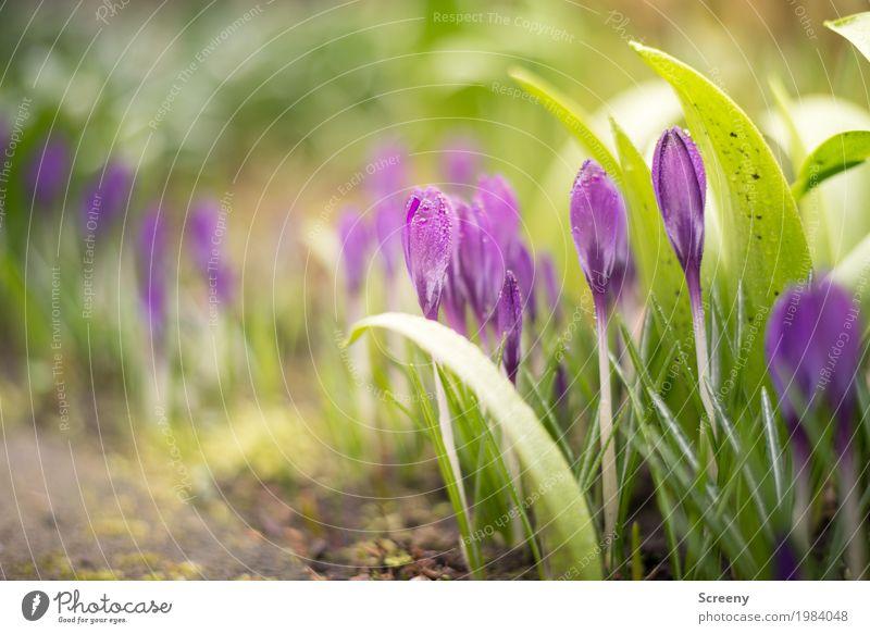 Aufblühen #1 Natur Pflanze grün Blume Blatt Blüte Frühling Wiese klein Garten Erde Wachstum Sträucher Blühend Schönes Wetter violett