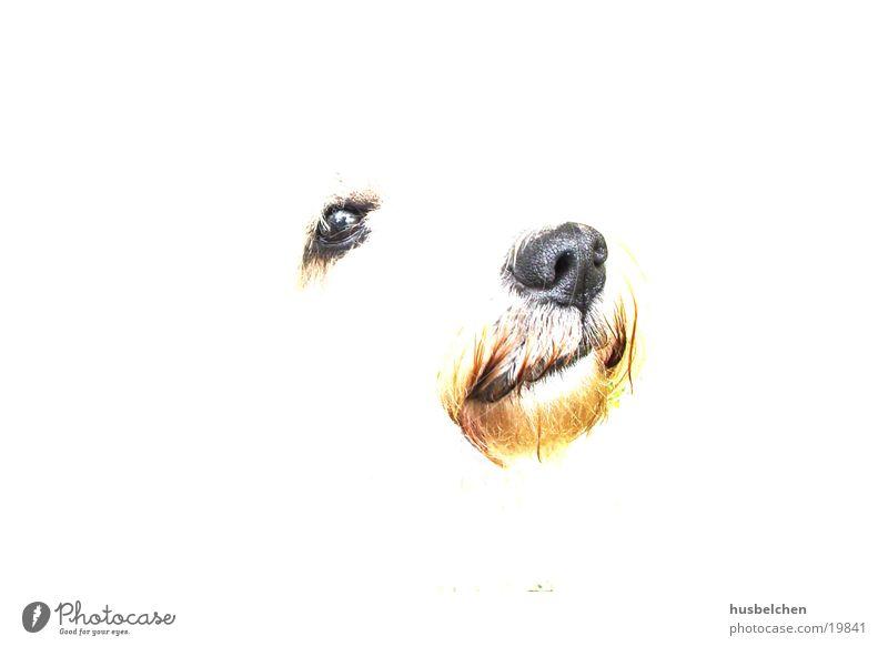 bingo weiß Auge Hund Nase