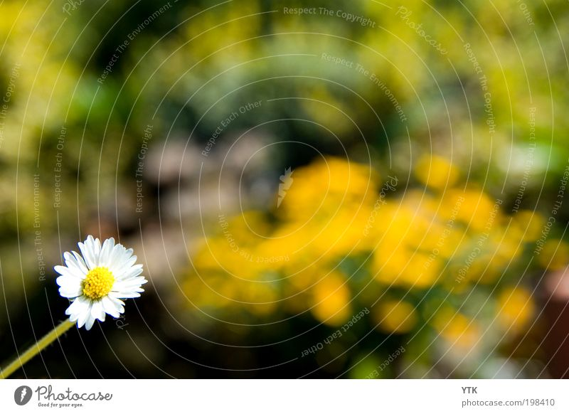 Daisy in the Sun Natur Pflanze Farbe Blüte Frühling Garten hell Stimmung glänzend Umwelt ästhetisch Wachstum Wandel & Veränderung Klima Blühend Duft