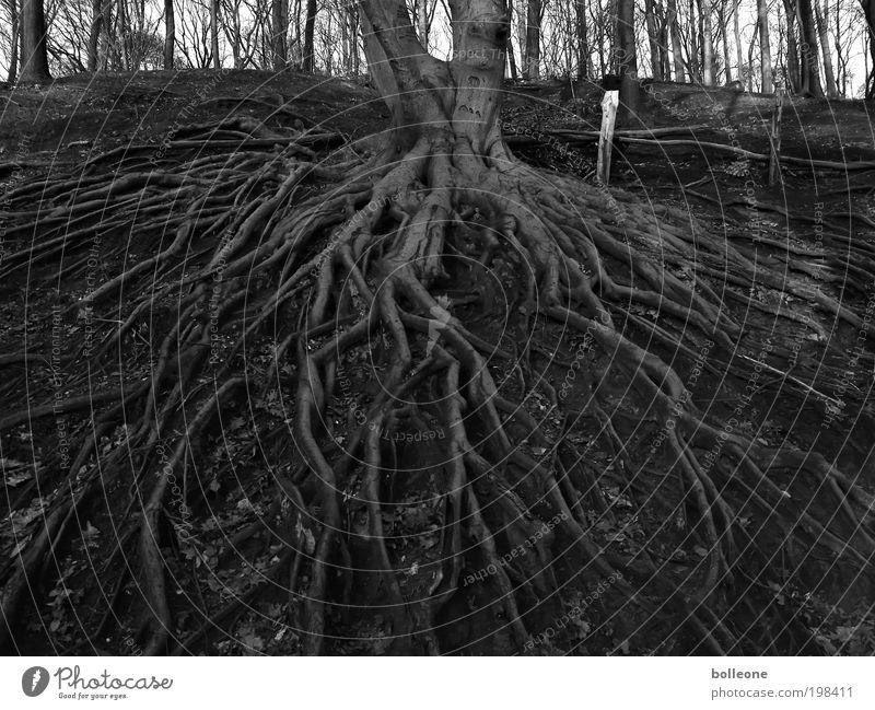 fest verwurzelt Natur alt Baum Pflanze Senior schwarz Wald dunkel Landschaft Kraft warten Umwelt Erde Netzwerk Wachstum Wandel & Veränderung