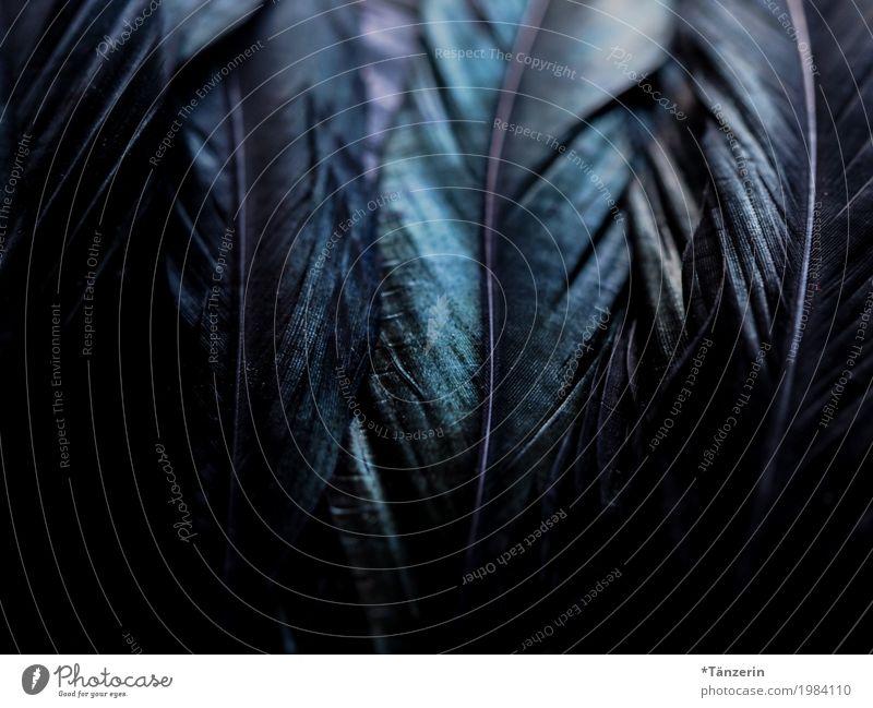 shades of black Vogel Flügel Feder ästhetisch glänzend gruselig natürlich schön blau grün schwarz Farbfoto Gedeckte Farben Detailaufnahme Makroaufnahme