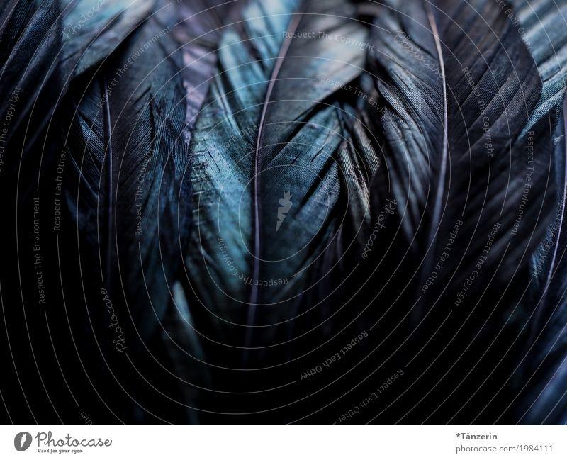 Federn Flügel ästhetisch dunkel natürlich schön blau schwarz Farbfoto Gedeckte Farben Detailaufnahme Menschenleer Unschärfe Schwache Tiefenschärfe