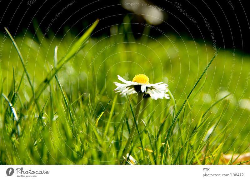 Schönheit des Rasens Umwelt Natur Pflanze Frühling Schönes Wetter Gras Blüte Wildpflanze Blühend Duft frisch glänzend schön Wärme grün Gänseblümchen Wiese