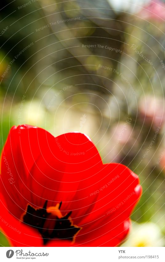 Der Star des Vorgartens Natur schön Pflanze rot Blume Umwelt Wärme Leben Frühling Blüte Garten leuchten Schönes Wetter Sträucher ästhetisch weich