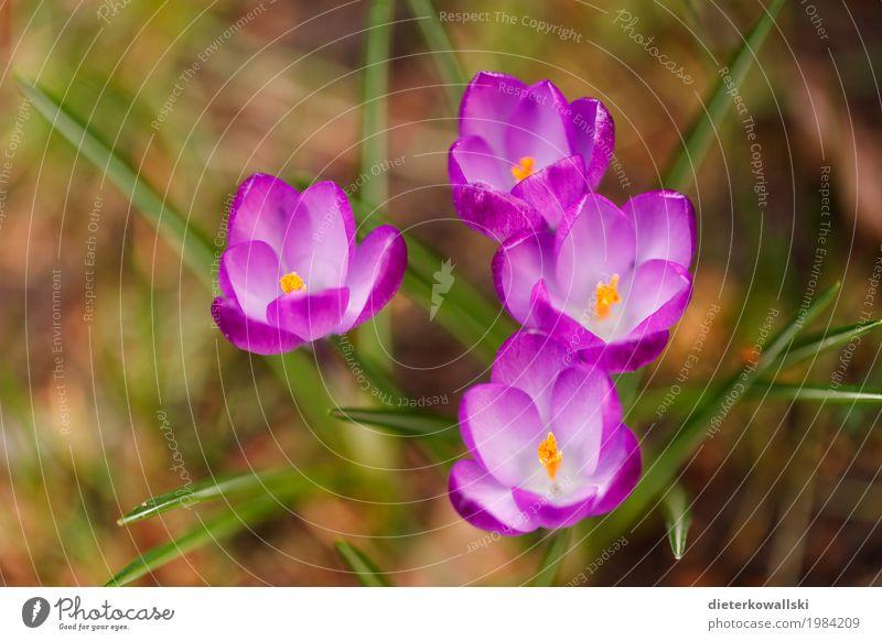 Krokusse Umwelt Natur Landschaft Pflanze Erde Frühling Schönes Wetter Blume Blatt Blüte Garten Park Wiese Blühend schön Wärme violett Vergänglichkeit