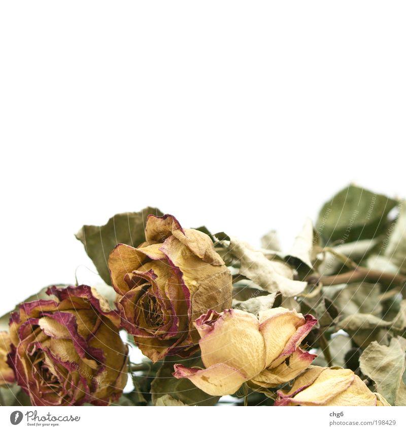 Es war einmal..... Pflanze Blume Rose trocken gelb grün rot weiß Vergänglichkeit Farbfoto Gedeckte Farben Nahaufnahme Menschenleer Textfreiraum oben