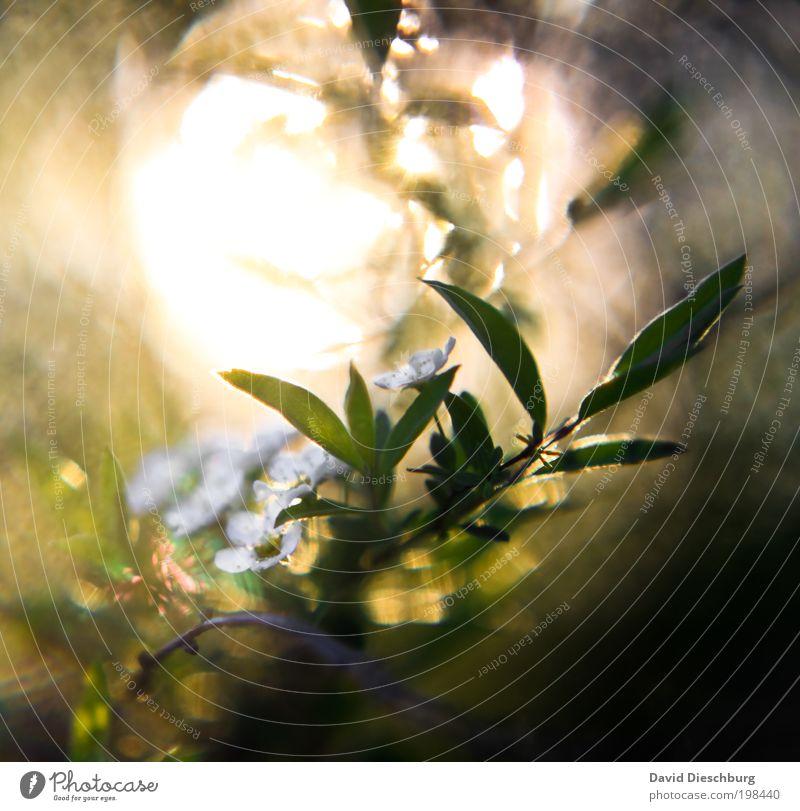 Die Kraft des Lichtes Natur weiß grün Sommer Pflanze Blume Blatt ruhig gelb dunkel Frühling Blüte hell glänzend Zweig Duft