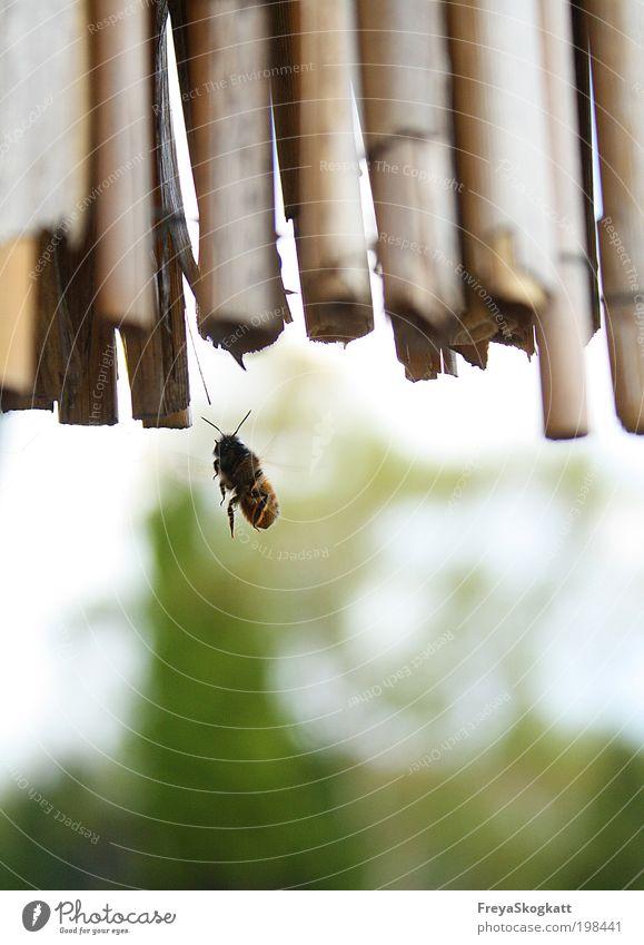 Ich suche mir ein Haus Frühling Schönes Wetter Tier Biene 1 bauen entdecken fliegen bedrohlich elegant frech frei Neugier Geschwindigkeit wild grün