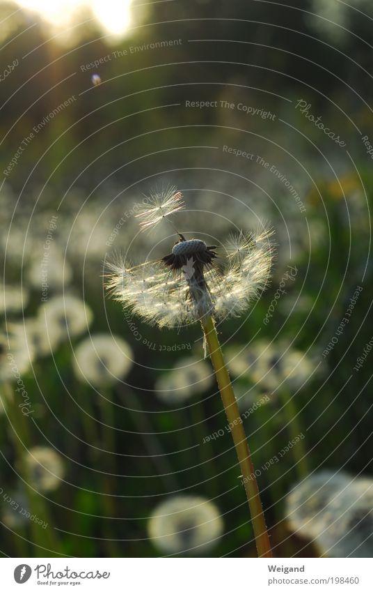 Hoffnungsträger 3 Natur Ferien & Urlaub & Reisen grün schön Hoffnung Ziel Löwenzahn bezaubernd Entscheidung Entschlossenheit Anmut Blume Abendsonne schaukeln zielstrebig
