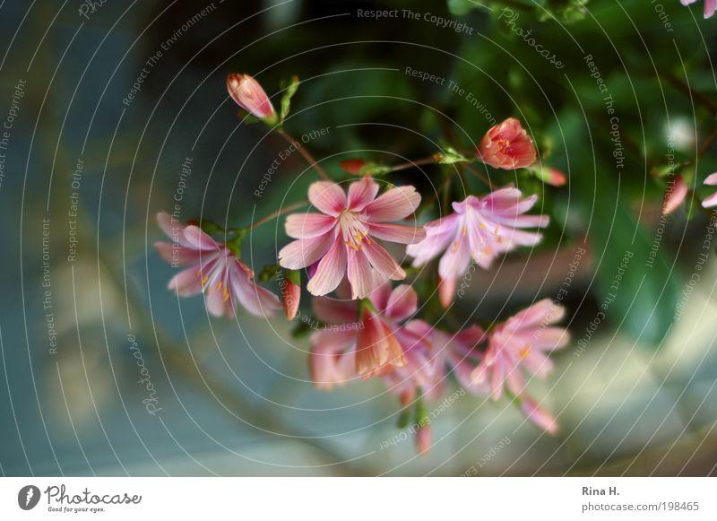 Bitterwurz - kein schöner Name für so ein niedliches Blümchen Natur Blume Pflanze Frühling Garten klein rosa ästhetisch Dekoration & Verzierung natürlich