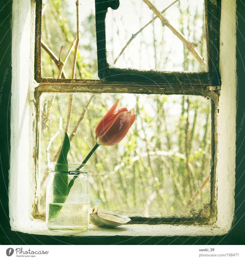 tulipa Haus Natur Pflanze Frühling Tulpe Blüte Duft einfach Freundlichkeit frisch gut positiv Stimmung Glück Frühlingsgefühle Romantik schön träumen Farbfoto