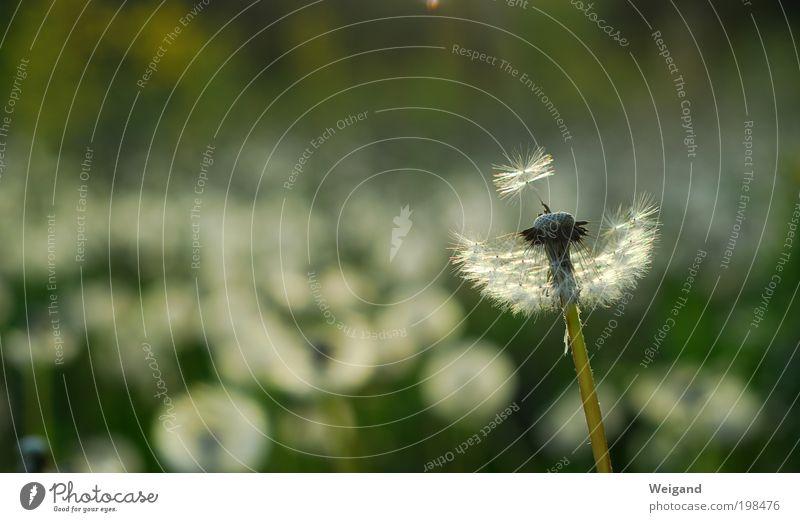 Hoffnungsträger 4 Sommer Blume Einsamkeit Zukunft Blühend Hoffnung Löwenzahn Inspiration Landleben Entscheidung schaukeln atmen Impuls Windzug Lebensziel hauchen