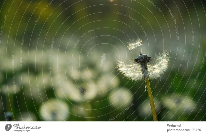 Hoffnungsträger 4 Sommer Blume Einsamkeit Zukunft Blühend Löwenzahn Inspiration Landleben Entscheidung schaukeln atmen Impuls Windzug Lebensziel hauchen