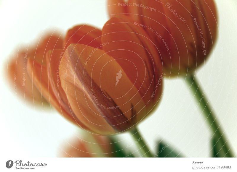 Tulpen Pflanze Frühling Blume Blühend natürlich grün rot Frühlingsgefühle Menschenleer Farbfoto Nahaufnahme Hintergrund neutral Unschärfe Schwache Tiefenschärfe