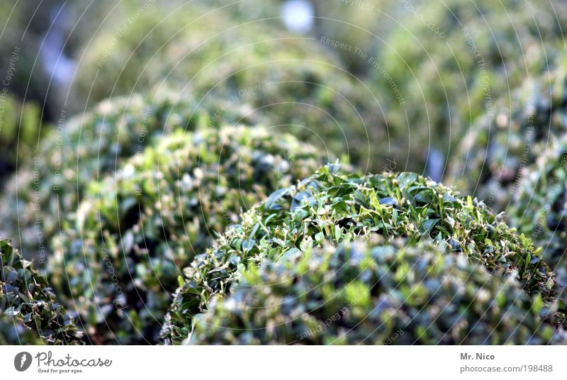 buxus Natur grün Pflanze Frühling Garten Park Ordnung rund Sträucher Freizeit & Hobby Kugel Hecke geschnitten Gartenarbeit Grünpflanze Gärtner