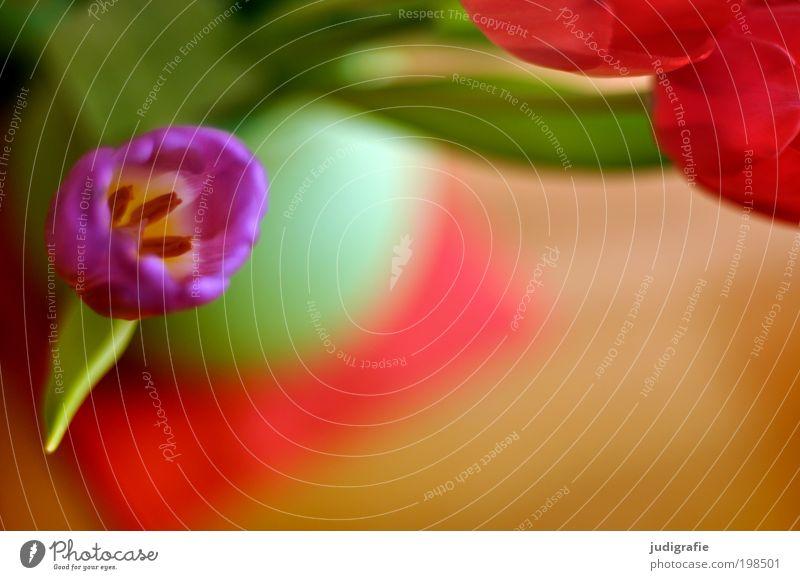 Tulpen Häusliches Leben Wohnung Dekoration & Verzierung Pflanze Blume ästhetisch frisch schön Kitsch mehrfarbig grün violett rot Fröhlichkeit Vase Blüte