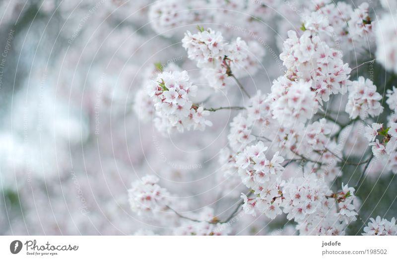 Baumblüte Natur schön weiß Pflanze Wiese Blüte Frühling Feld rosa Umwelt ästhetisch rein Blühend Duft Schönes Wetter