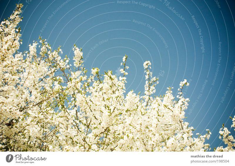 BAUMBLÜTENFEST Umwelt Natur Landschaft Pflanze Himmel Wolkenloser Himmel Frühling Schönes Wetter Baum Blüte Grünpflanze Wildpflanze Wiese Feld Blühend verblüht