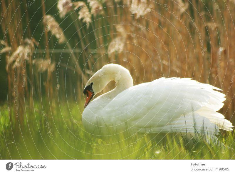 Schönheit Umwelt Natur Landschaft Pflanze Tier Frühling Sommer Klima Wetter Schönes Wetter Wärme Gras Wiese Seeufer Teich Bach Wildtier Vogel Schwan Tiergesicht