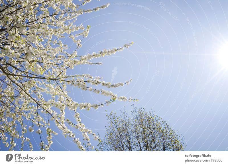 Sonnenfühler Natur Pflanze Luft Himmel Wolkenloser Himmel Sonnenlicht Frühling Schönes Wetter Baum Blüte Blühend Blütenknospen Ast Park Wachstum Fröhlichkeit