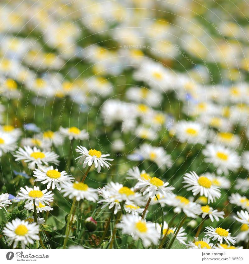 ein tänzchen mit daisy Schönes Wetter Pflanze Blume Blüte Gänseblümchen Korbblütengewächs Garten Park Wiese Lächeln Wachstum Freundlichkeit Fröhlichkeit frisch