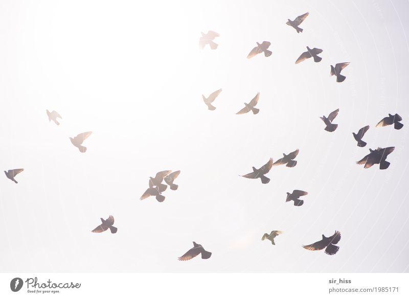 Swarming dispersion Himmel weiß grau braun fliegen oben hell Horizont Beginn gefährlich Flügel Geschwindigkeit Tiergruppe Abheben Wachsamkeit unten