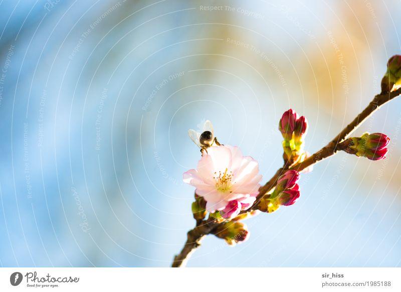 SaBiene beim Abstauben Baum Blüte Blütenknospen Kirschblüten 1 Tier Fröhlichkeit frisch weich blau rosa weiß Glück Romantik Idylle Lust Umwelt bestäuben